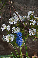 Iberis Alexander's White candytuft with Muscari grape hyacinth in spring bloom, blue bulbs with white perennial flowers