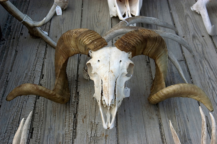WY: Wyoming, Cody..Skull of bighorn sheep..Photo #: yellow943..Photo copyright Lee Foster, 510/549-2202, lee@fostertravel.com, www.fostertravel.com..