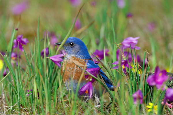 Male Western Bluebird (Sialia mexicana). The wildflowers are called Grass Widows or Blue-Eyed Grass and are one of the earliest wildflowers found in the Columbia River Gorge National Scenic Area. One often finds hardy individuals in early February, but the peak bloom for these flowers usually occurs in early March, which coincides with the return of these beautiful birds to this area.