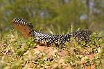 Black Kingsnake (Lampropeltis getula nigra)