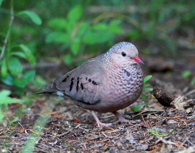 Common ground-dove adult