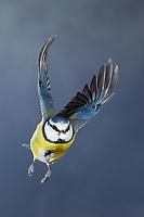 Blaumeise, im Flug, Flugbild, fliegend, mit Erdnuss im Schnabel, Blau-Meise, Meise, Meisen, Cyanistes caeruleus, Parus caeruleus, blue tit, flight, flying, La Mésange bleue