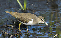 Common Sandpiper Actitis hypoleucos L 18-20cm. Active little wader with a bobbing gait and elongated tail end. Flies on bowed, fluttering wings low over water: note white wingbar and absence of white rump. Sexes are similar.<br /> Adult has warm brown upperparts with faint dark centres and barring feathers of back and wings. Head and neck are grey-brown; note clear demarcation between dark breast and white underparts, white extending up sides of breast. Juvenile is similar but wing covert feathers s are barred. Voice Utters a whistling tswee-wee-wee call. Status Fairly common summer visitor, nesting beside upland and northern rivers and lakes. Widespread and fairly common passage migrant, found at inland sites and on coasts. A handful overwinter.