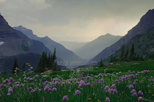 Mountains at sunset with rainfront and wildflowers, Wild Chives,Allium schoenoprasum, Glacier National Park, Montana, USA, July 2007