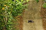 Tayra (Eira barbara) crossing dirt road in tropical rainforest, Panama Rainforest Discovery Center, Gamboa, Panama