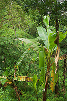 Rainforest, in the mountains southwest of Dili, Timor-Leste (East Timor)