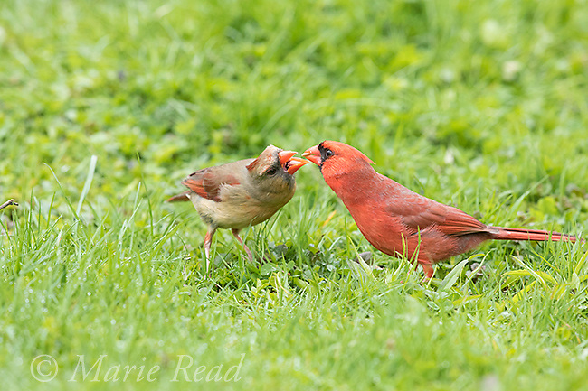 "Northern Cardinal (Cardinalis cardinalis) male feeding his mate in spring as part of courtship/pair formation, termed ""allofeeding"", New York, USA"