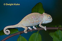 CH47-863z  Veiled Chameleon three month old young, Chamaeleo calyptratus