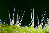 Große Brennnessel, Brennessel, Urtica dioica, Stinging Nettle, common nettle, La grande ortie, ortie dioïque, ortie commune. Brennhaar, Brennhaare, stinging hairs, stinging hair, trichomes