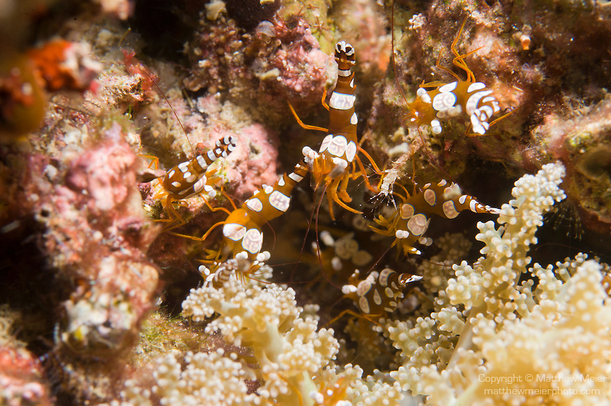 Anilao, Philippines; several small Anemone Shrimp (Thor amboinensis) in a crevice on the coral reef