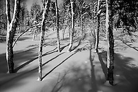 Betula forest Home decor,