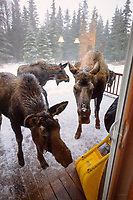 A mama moose and her three calves hang out on the back deck scrounging for food during a winter day in Kenai, Alaska.