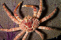 nr0407-D. Hairy Clinging Crab (Mithrax pilosus) on sea fan. Belize, Caribbean Sea.<br /> Photo Copyright &copy; Brandon Cole. All rights reserved worldwide.  www.brandoncole.com
