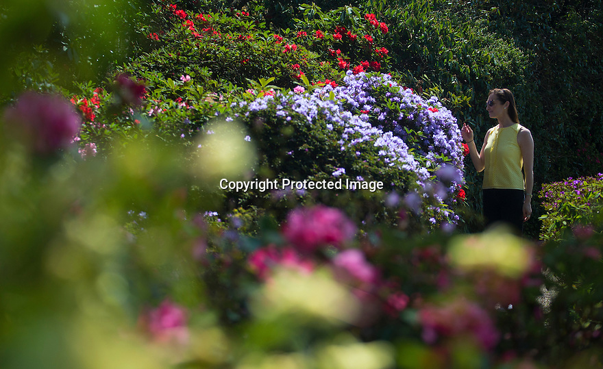 """05/05/16 <br /> ***Caption correction name is Andrea not Andea as in previous caption***<br /> <br /> Enjoying the sunshine, Andrea White from Sutton-in-Ashfield, admires the stunning blooms of the dwarf rhododendron at Lea Gardens, near Matlock in the Derbyshire Peak District.<br /> <br /> Pete Tye, owner, said: """"After very mild winter, we were heading for really early display, but the recent cold spell slowed everything down, so now it's all quite late. <br /> """"But today's sunshine has worked its magic and the flowers are opening by the minute.""""<br /> <br /> <br /> All Rights Reserved: F Stop Press Ltd. +44(0)1335 418365   +44 (0)7765 242650 www.fstoppress.com"""