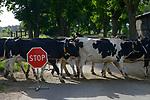 POLAND, Juchowo, organic milk cow farm, cows cross road / POLEN, Juchowo, biologisch wirtschaftender Milchviehbetrieb, Kuehe ueberqueren Baumallee