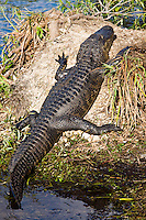 Alligator by Turner River, Everglades, Florida, USA
