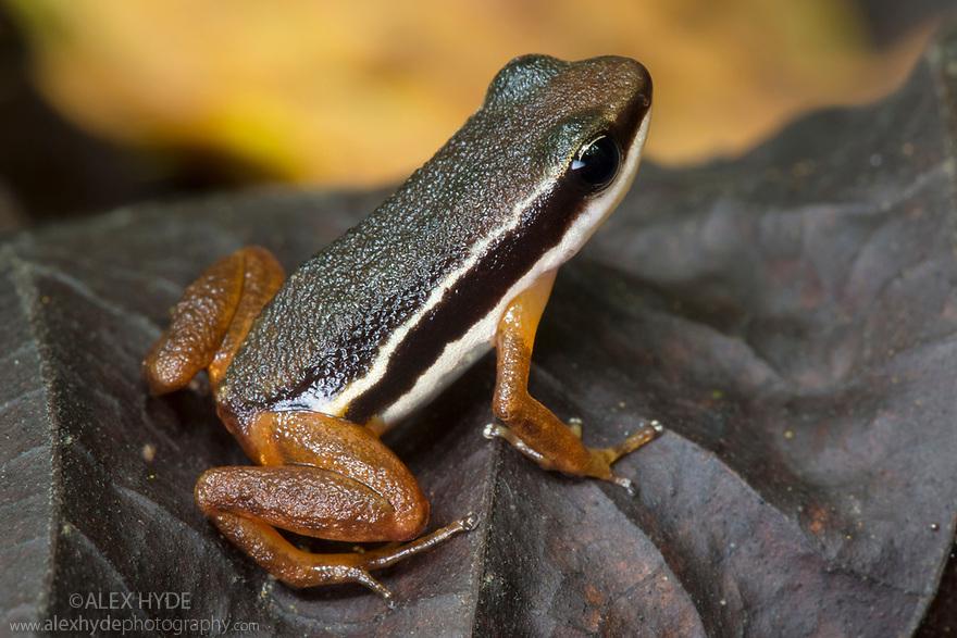 Lowland Rocket Frog {Silverstoneia flotator} Osa Peninsula, Costa Rica. May.