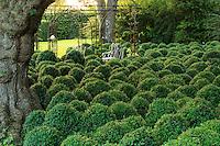 Jardins du pays d'Auge (mention obligatoire dans la légende ou le crédit photo):.moutonnement de buis en sous-bois.