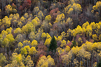 Aspen Trees in Golden Yellow Autumn Fall Colors, Unita National Forest, Utah, USA.