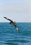 Cape Petrel (Daption capense) gliding over ocean, Kaikoura, South Island, New Zealand