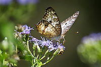 White Peacock Butterfly on Blue Mist plant
