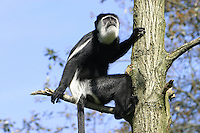 Germany, DEU, Muenster, 2004-Sep-02: A guereza (colobus guereza) looking out from a tree in the Muenster zoo.