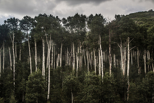 Aspen trees during summer at Kolob Terrace adjacent to Zion National Park, Utah