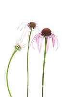 30099-00517 Pale Purple Coneflowers (Echinacea pallida) (high key white background)  Marion Co. IL