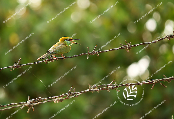 Stock photo :little bee-eater sitting on barbed wire fence.