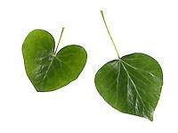 Irish Ivy - Hedera hibernica