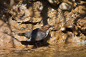 White-throated Dipper (Cinclus cinclus) sitting on rivers edge with caddisfly in the beak waiting its turn to feed young. Dippers have a remarkable way to catch food in a niche area. They are able to dive under water readily at will and walk along the bottom in search of caddis fly larva and other food.
