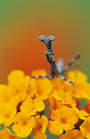 Mantid, Mantidae, young on Texas Lantana (Lantana urticoides) , Lake Corpus Christi, Texas, USA, May 2003