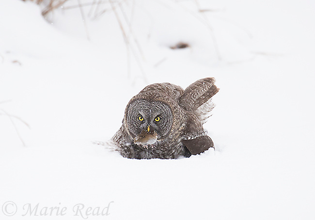 Great Gray Owl (Strix nebulosa), just captured prey (vole?) in the snow, near Sax-ZIm Bog, Minnesota, USA. Natural behavior, unbaited bird. The birds locate prey under the snow by hearing, then plunge into the snow to capture the prey in their talons.