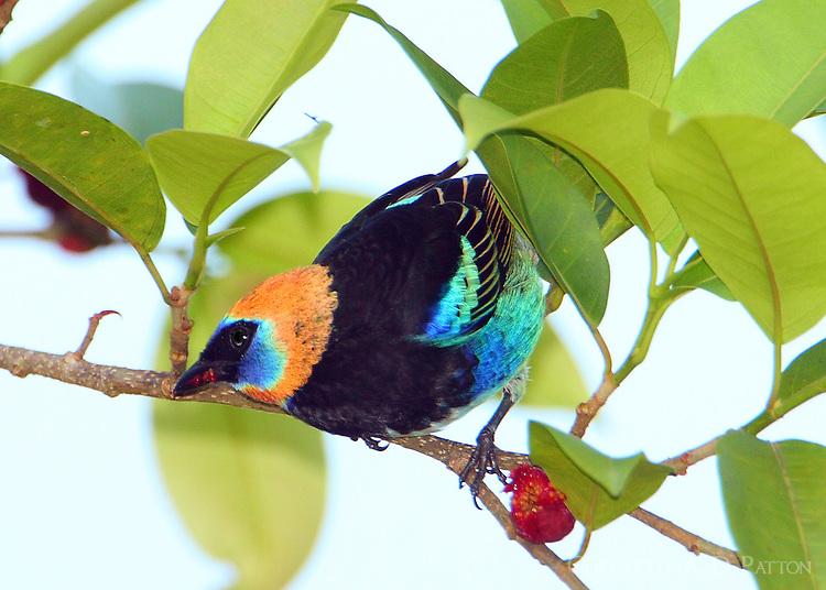 Golden-hooded tanager eating fruit