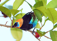 Golden-hooded tanager eating fruit