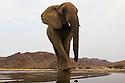 Namibia;  Namib Desert, Skeleton Coast, Hoanib River, desert elephant (Loxodonta africana) at artificial waterhole
