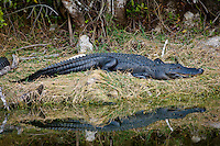 Alligator in Turner River, Everglades, Florida, United States of America