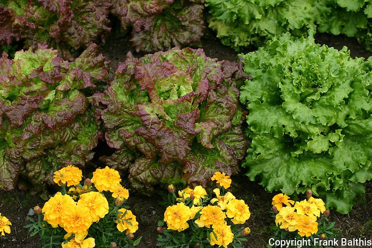 Lettuce in garden in Palmer