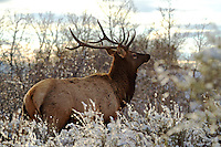 Bull elk slips through thick brush on a frosty autumn morning.  Wasatch Mountains, Utah.