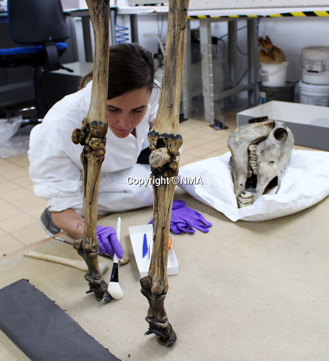 BNPS.co.uk (01202 558833)<br /> Pic: NMA/BNPS<br /> <br /> Conservator at work on the famous skeleton.<br /> <br /> Napoleons famous horse given some much needed 'Joie de vivre' by a National Army Museum conservation - The new poised hind legs and cocked fore leg and head breathe life into the 200 year old skeleton.<br /> <br /> Emperor Napoleon's famous warhorse Marengo, immortalised in David's famous painting, was captured on the battlefield of Waterloo after Napoleon had fled.<br /> <br /> The diminutive Arabian stallion was brought back to Britain, and after its death the skeleton was carefully preserved and put on display in a rather dull and lifeless pose.<br /> <br /> British experts have spent two years picking apart, reconditioning and reassembling the aged and delicate bones of Marengo ahead of his installation at the new National Army Museum in Chelsea, west London.