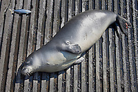 A Hawaiian monk seal (Monachus schauinslandi) basking on a boat ramp (tagged young male, critically endangered, given dead bait fish by local fishermen), Honokohau Harbor, Kona Coast, Big Island