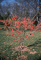 Witch hazel Diane, Hamamelis x intermedia in early spring / late winter tree flower