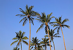 Coconut palm trees against deep blue sky, Nilavelli, Trincomalee, Sri Lanka, Asia