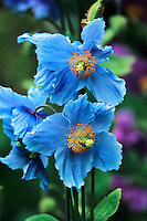 Meconopsis grndiflora,  also known as the blue Himalayan poppy, is one of the more exotic flowers seen in gardens  that will accommodate the special conditions it requires.