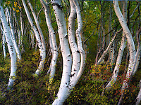 Close up of aspen trunks. Eastern Sierra Nevada Mountains, California