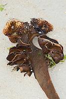 Sackwurzeltang, Sackwurzel-Tang, Haftorgan, Verankerungsorgan, Saccorhiza polyschides, Saccorhiza bulbosa, Furbellow, Furbellows