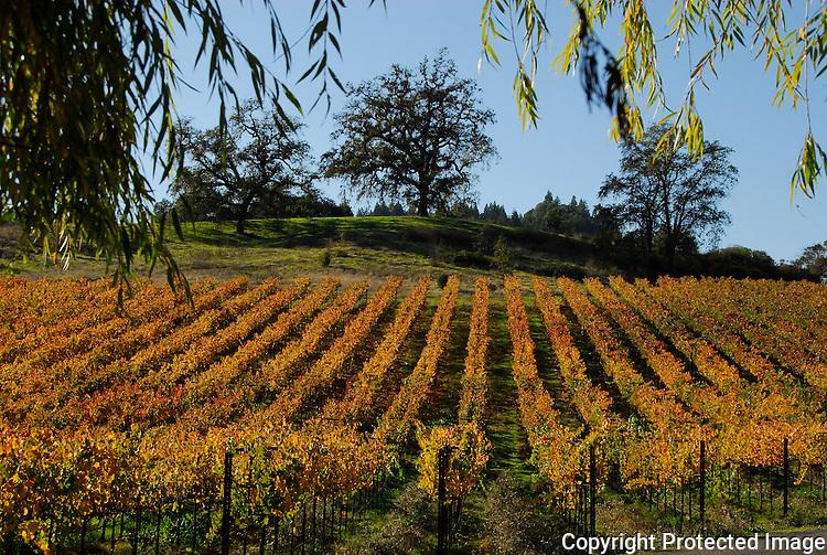Vineyard in autumn on Westside Rd.,Forestville, Sonoma County, CA