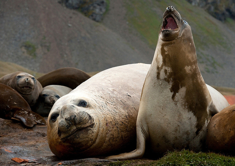 Southern elephant seal (Mirounga leonina) roaring and showing dominant behaviour, Grytviken, South Georgia