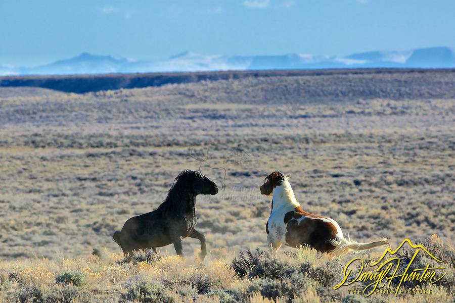 Fighting mustangs, high desert, Farson Wyoming