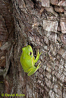 0605-0902  American Green Treefrog Climbing Tree at Outer Banks North Carolina, Hyla cinerea  © David Kuhn/Dwight Kuhn Photography